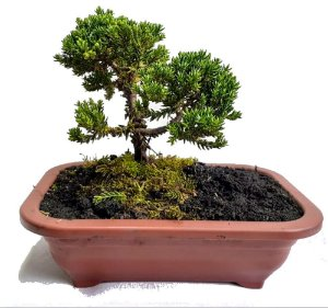 Bonsai Mini Junípero - 1 Muda - Foto Real