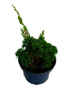 Tuia Shimpaku (juniperus Chinensis) - 1 Muda