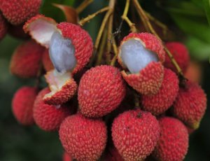 Lichia Bengal - 1 Muda Próxima De Produzir - Sem Agrotóxico