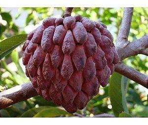 Muda De Pinha Asteca (annona Reticulata Red ) - Frutífera