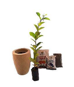 Kit Mãos na terra -  Vaso Safira + Muda de Goiaba - Pronto para plantar