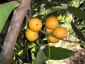 Achachairu 1 Muda - Cultivo Livre de Agrotóxicos!