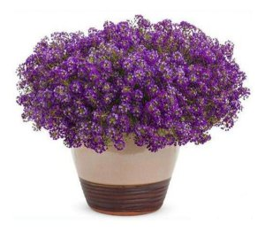 Alyssum Violeta - 290 Sementes - Isla