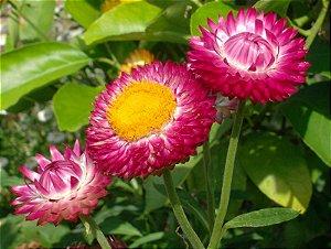 Helichrysum / Sempre-viva Sortida - 330 Sementes - Isla