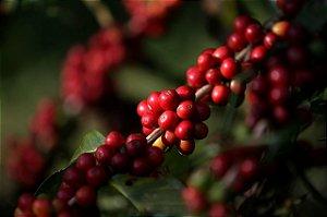 Muda De Café - Livre De Agrotóxicos!