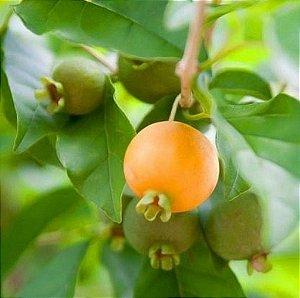 Gabiroba - 1 Muda De 15cm - Cultivo Livre De Agrotóxicos