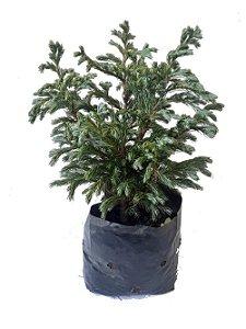 Tuia Azul - 1 Muda Ornamental (p/ Vaso, Bonsai Ou Jardim)