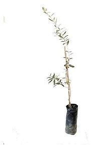 Oliveira Ascolan - 1 Muda - Livre De Agrotóxico!