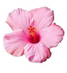 Hibisco Rosa com Centro Vermelho - mudas de 80 cm!