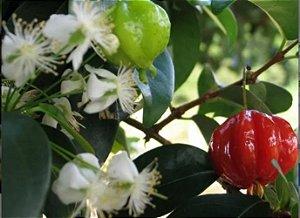 Pitanga Anã Do Serrado - Mudas Livre De Agrotóxicos
