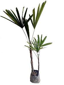 Rafis - 1 muda ornamental - Cultivo livre de agrótoxico!