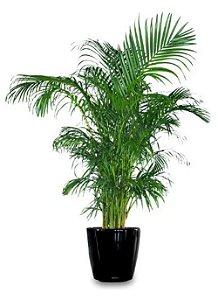 Muda Da Palmeira Areca Bambu - Livre De Agrotóxico!