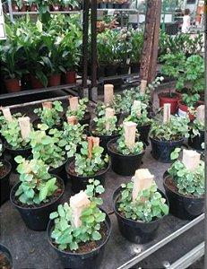 Unha De Gato - 1 Muda - Cultivo Sem Agrotóxico!