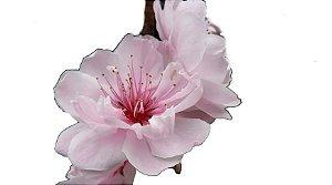 Cerejeira Ornamental - Sakura - Mudas Com 50cm