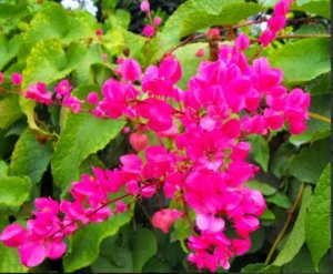 Amor Agarradinho - 1 Muda - Cultivo Sem Agrotóxico!