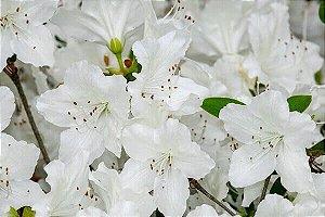 Azaleia Branca - 1 Muda Grande - Já Florindo!