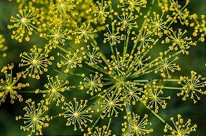 Anis / Erva Doce - 360 sementes - Isla