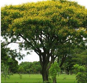 Canafístula/faveira - Sementes - Isla