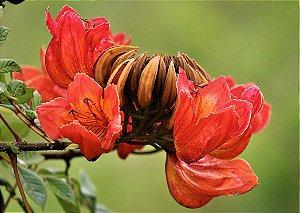 Ipê Vermelho - Muda com 40cm