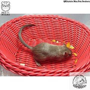 Gerbil Burmese e Siamese