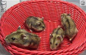 Hamster Anão Russo Wild