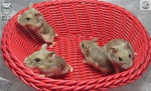Hamster Anão Russo Sapphire