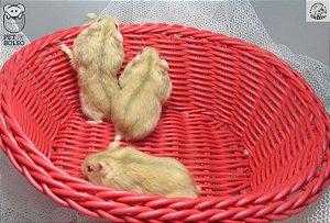 Hamster Anão Russo Orange, Violet ou Violet Dilute