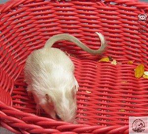 Gerbil Siamese Pied