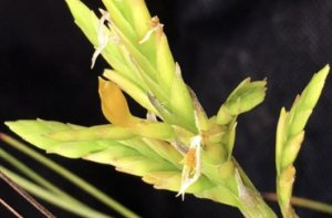 Combo Tillandsia distichia (Leve 3 pague 2)