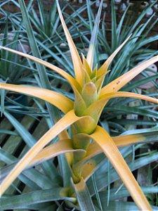 Tillandsia Capitata Maya Gold (Air Plant)