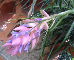 Tillandsia stricta (Air Plant)