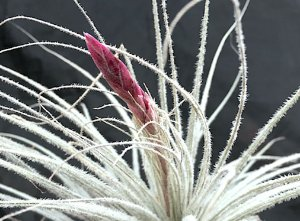 Tillandsia tectorum (Air Plant)