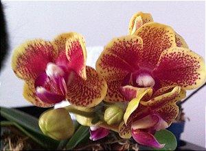 Phalaenopsis Domadinho