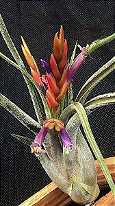 Tillandsia paucifolia (Air Plant)