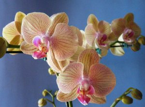 Phalaenopsis Orchids World x Lemon Splash
