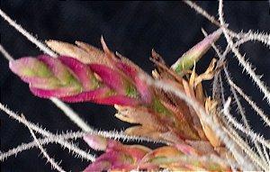Tillandsia tectorum Var Longicaulis (Air Plant)
