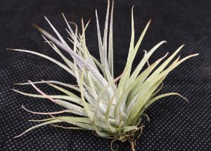 Tillandsia kammii (Air Plant)