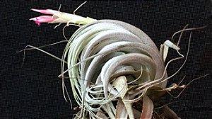 Tillandsia piauiensis (Air Plant)