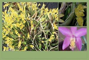 Pacote Promo #07  (Mini Orquídeas)