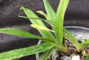 Phragmipedium schoederae