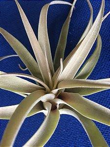 Tillandsia riohondoensis (Air Plant)