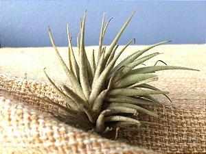 Tillandsia loliacea (Air Plant)