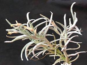 Tillandsia mollis (Air Plant)