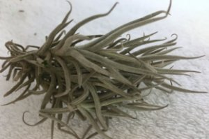 Tillandsia paleacea Var Media (Air Plant)