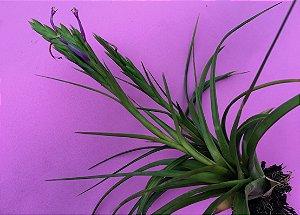 "Tillandsia polystachia ""Lagunita"" (Air Plant)"