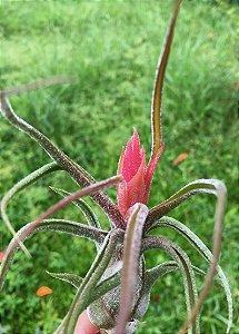 Tillandsia pruinosa (Air Plant)