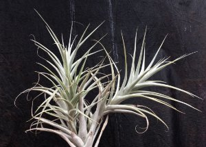 Tillandsia Sp (Equador) (Air Plant)