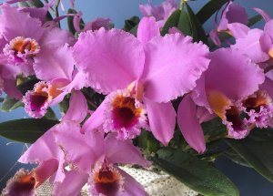 Cattleya percivaliana 'Thiago' x Self