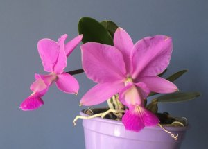 Cattleya walkeriana Var Vinicolor