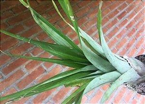 Tillandsia apressiflora